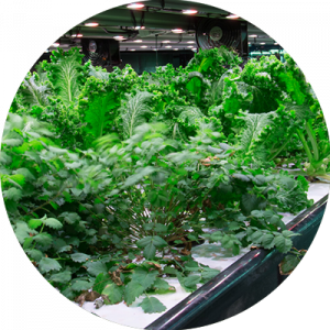 Plants Grown using Hydroponics
